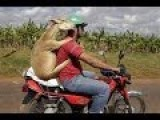 GOAT Riding A Man Riding A Bike Through Ethiopian Streets