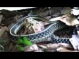 Garter Snake Having Lunch