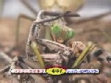 Giant Asian Mantis♀ VS Giant Mombasa Spider