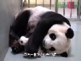 Giant Panda With Baby Panda Shes A Great Mum