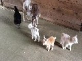 Goat Kids Torment Their Chicken Babysitter