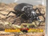Giant Asian Mantis♀ VS Manticora Tiger Beetle♀