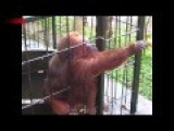 Ghetto Monkey Eating Bananas Funny Voiceover