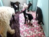 Goats, Dogs And Chicks Live In Happy Harmony