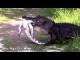 Gator Eating Gator