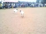 Goat Ramming Duel