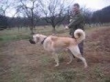 Giant Dogs - Type: Sivas Kangal In Turkey - Dimensions: 100 Cm X 100 Kg