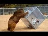 Grizzly Bear Pushes Glass Box With Screaming Woman Inside For Japanese Game Show