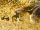 Giant Anteater VS Jaguar