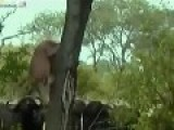 Group Of Buffalo Killing Lion And Playing With His Body