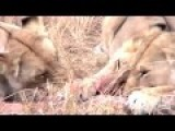Giraffe Is Killing The Lion Who Killed Her Baby