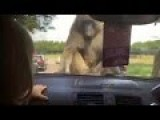 Girl Scarred For Life After Monkeys Jump On Hood Of Car