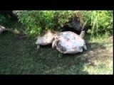 Giant Tortoise Rescues Overturned Friend