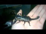 Guy Playing With Pet Scorpion