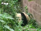 Giant Panda Attempts Her Very Own Great Escape