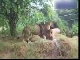 Gay Lions Fuck Each Other And The Wife Watch