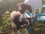 Goat Gives Friend A Hoof Back Rub