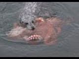 Giant Octopus And Seal Battle To DEATH