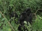 Gorilla & Tourists Virunga National Park Congo HD