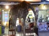 Giraffe Takes A Stroll Through Restaurant