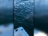 Great White Shark Circles Our Boat