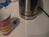 HQ Large Huntsman Spider Terrorising Kitchen