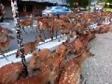 Horde Of Deer Occupying The Road At Nara 2014