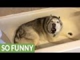 Husky Dog Throws Tantrum Because He Doesn't Want To Get Out Of The Tub