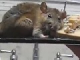 Huge Rat Caught On A Glue Trap