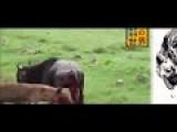 Hyena Attack Reindeer