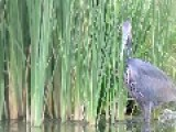 Hungry Heron Swallows Huge Catfish Whole