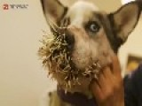 Husky Makes A Huge Mistake Attempting To Attack A Porcupine