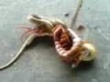 Huge Centipede Vs Snake
