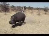 Hungry Hippo Attacks Safari