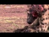 Hyena Has It Face Ripped Up By Lion
