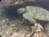 Hawaiian Sea Turtles, Dont Try To Get This Close, Theyre Protected