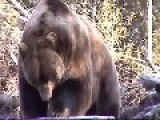 Huge Kodiak Brown Bear Investigates A Truck