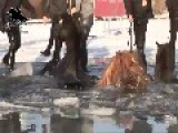 Horses Crash Through Ice