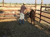 How NOT Mount A Steer... Fail