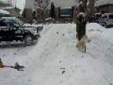 Husky Enjoys Being Buried In Snow