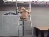 How Could This Dog Do It