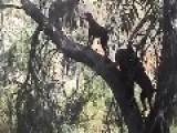 Hounds Tree Mountain Lion