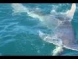 Hammerhead Shark Bites Whaler In Half As Fisherman Reels In