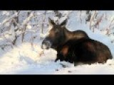 How Alaskan Moose Chill-out, Literally