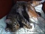 Hungry Newborn Kittens Take A Drink