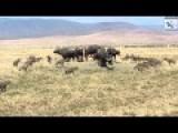 Hyenas Vs Buffalos,Hyenas Attacking Buffalo