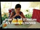 How To Tell If A Melon Is Ready To Harvest