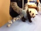 Have You Ever Heard Baby Panda Speak!