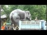 Huge Thailand Elephant Loading Into Truck