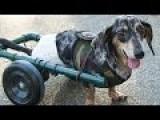 HappyDog Gets Some Wheels